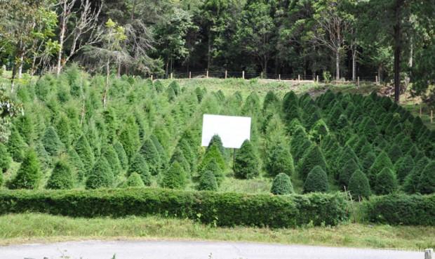 en esta rea se cultivan los pinos que son puestos a la venta en navidad